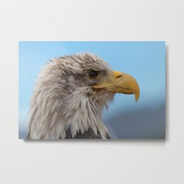 White Headed Eagle Portrait. Metal Print