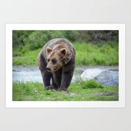 Grizzly Bear 1957 - Alaska Art Print