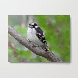 Downy Woodpecker (juvenile male) Metal Print