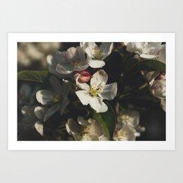 Moody crabapple blossoms Art Print