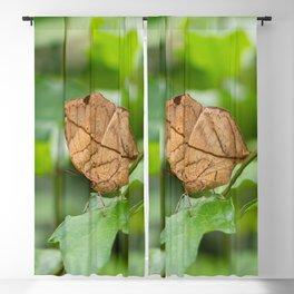 Orange oakleaf, Indian oakleaf or dead leaf, is a nymphalid butterfly Blackout Curtain
