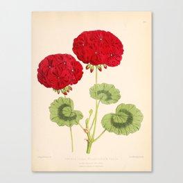 Double Zonal Pelargonium Vesta Vintage Flower Canvas Print