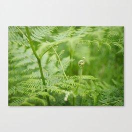 Unfurling bracken fronds. Norfolk, UK. Canvas Print