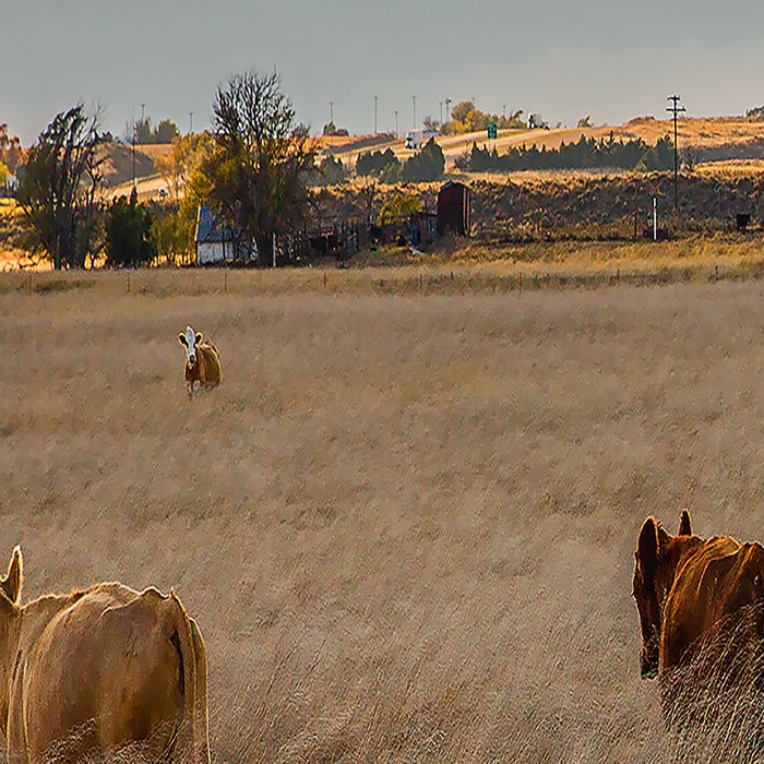 Cows Among the Grass - Cattle Wade Through a Field in Texas Leggings