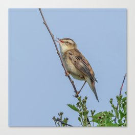 Sedge Warbler Canvas Print