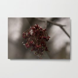 Snow on Red Maple Metal Print