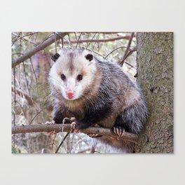 Possum Staredown Canvas Print