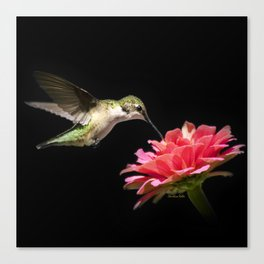 Hummingbird V Canvas Print