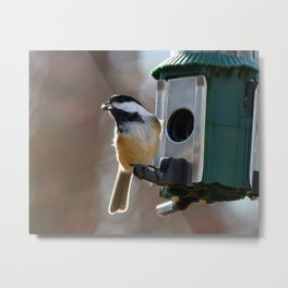 Chickadee Feeding Metal Print
