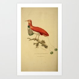 Vintage Print - Arcana or The Museum of Natural History (1811) - King Bird of Paradise Art Print