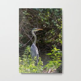 Gray heron on the edge of a pond Metal Print