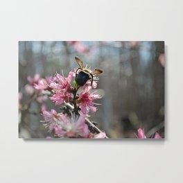 Bee on Peach blooms 1 Metal Print