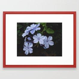 Beautiful flower - Plumbago auriculata Framed Art Print