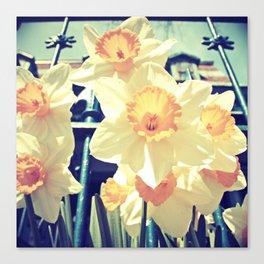 Alexander's Daffodils Canvas Print