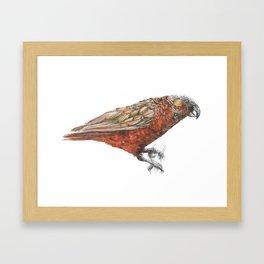 New Zealand parrot, the Kaka Framed Art Print