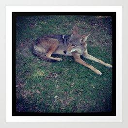 Coyote Calm Art Print