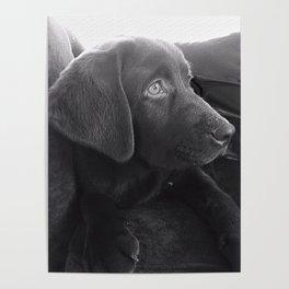 Labrador Puppy Portrait Poster