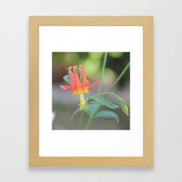 Pastel Columbine Afternoon Framed Art Print