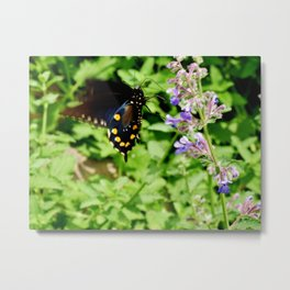 Pipevine Swallowtail 2 Metal Print
