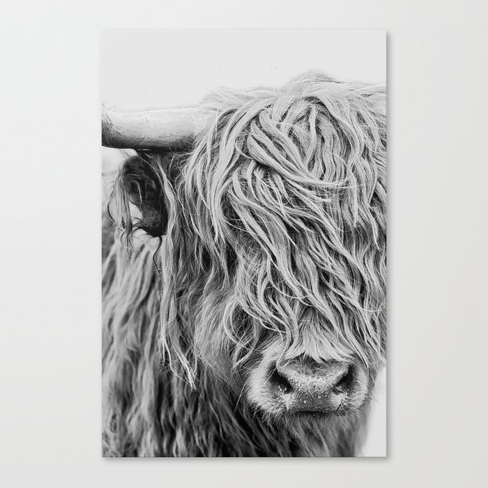 Scottish Highland Cow - Curls Canvas Print