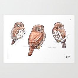 Northern Pygmy-Owl Studies Art Print