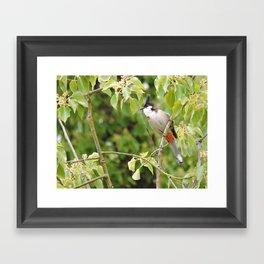 Red-Whiskered Bulbul -- 2 Framed Art Print