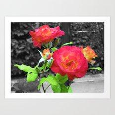 Chicago Peace Rose Art Print