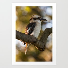 Laughing Kookaburra (Dacelo novaeguineae) Art Print