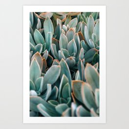 Graptoveria Study #4 Art Print