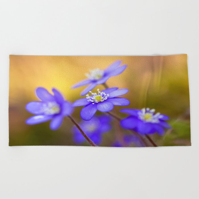 Spring Wildflowers, Beautiful Hepatica in the forest on a sunny and colorful background Beach Towel