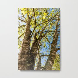 Looking Up Through the Tree Canopy on a Beautiful Sunny Day. Metal Print
