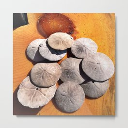 Sand Dollars Collected in Old Orchard Beach, Maine Metal Print