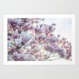 Magnólias rosa florescendo na primavera!! Art Print
