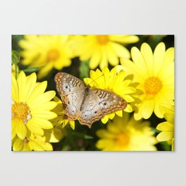 Beautiful White Peacock Butterfly on Daisies Canvas Print