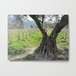 Olive tree in vineyard Metal Print