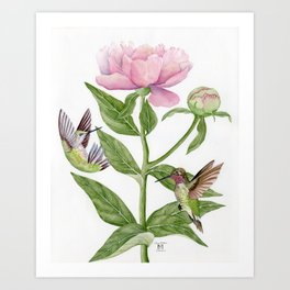 Anna's Hummingbirds & Peonies Art Print