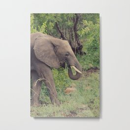 elephant eating grass Metal Print