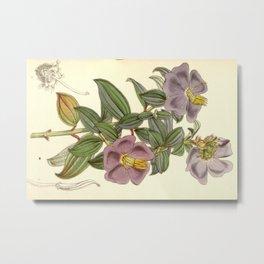 Osbeckia aspera, Melastomataceae Metal Print
