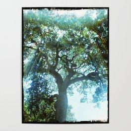 Ramona Oak Tree Poster