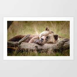 Big Beautiful Grizzly Bear Relaxing In Green Meadow Close Up Ultra HD Art Print
