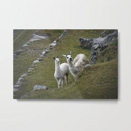 Llama II Metal Print