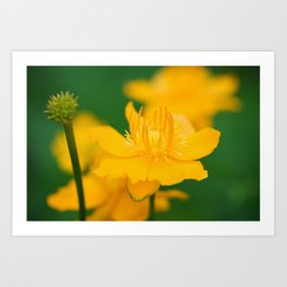 Yellow Globeflower - Golden Queen Trollius x Cultorum 5 Art Print