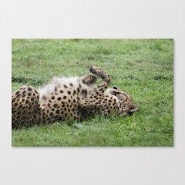 Cheetahs don't always run Canvas Print