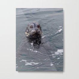 Wild seal Metal Print