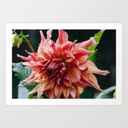 Dahlia (Penhill Watermelon) Art Print
