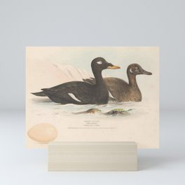 Velvet Scoter, oidemia fusca5 Mini Art Print