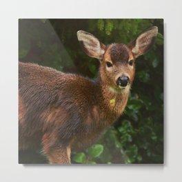 Black Tail Deer chewing on clover. Metal Print