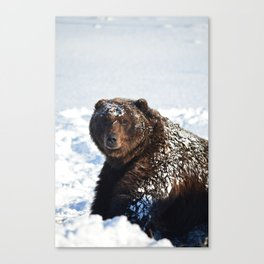 Alaskan Grizzly in Snow Canvas Print