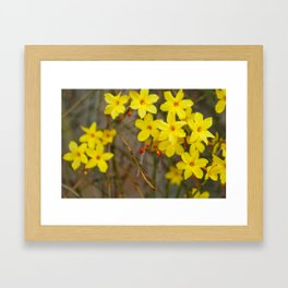 Winter jasmine or Jasminum nudiflorum deciduous shrub blooming with yellow flowers in early spring Framed Art Print