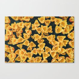 Yellow Tulips From Above Canvas Print